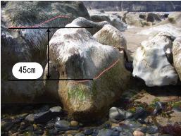 琴が浜での海岸隆起による海藻の白色化